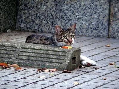 恵比寿の野良猫